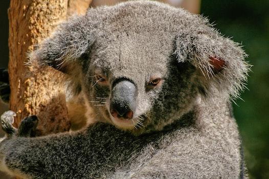 Koala Bear on Tree during Daytime
