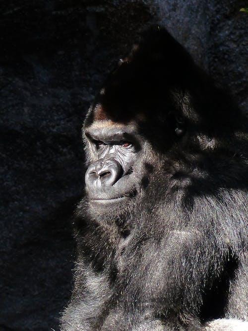 Kostnadsfri bild av apa, däggdjur, djur, gorilla