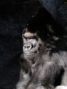 Black Gorilla Closed Up Photography