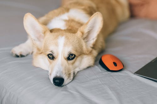 Corgi Lying on Bed next to a Mouse