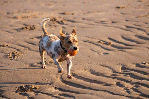 Dog Running on The Sand With a Ball Toy