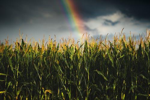 Green Field Under Rainbow