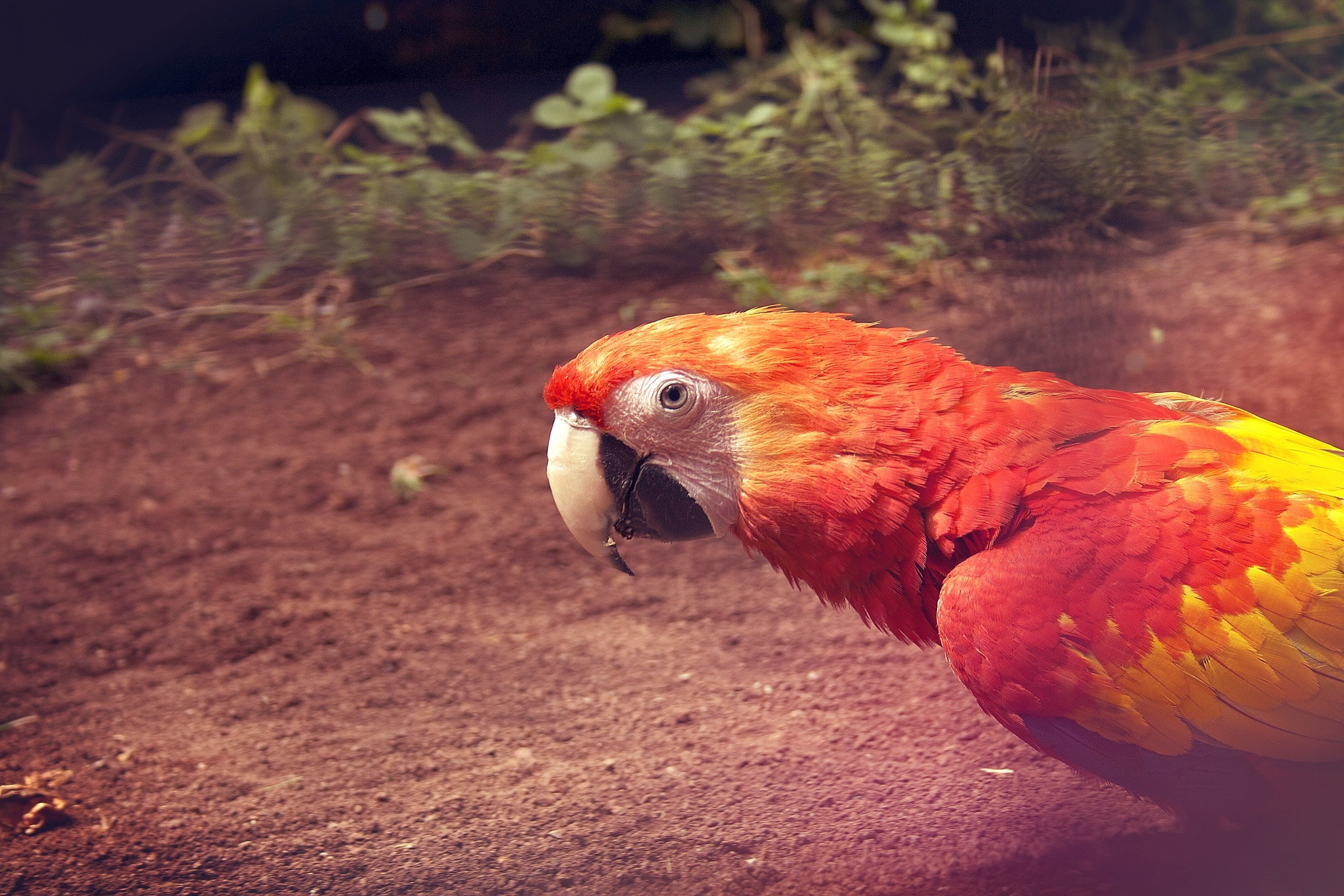 Red Yellow Parrot