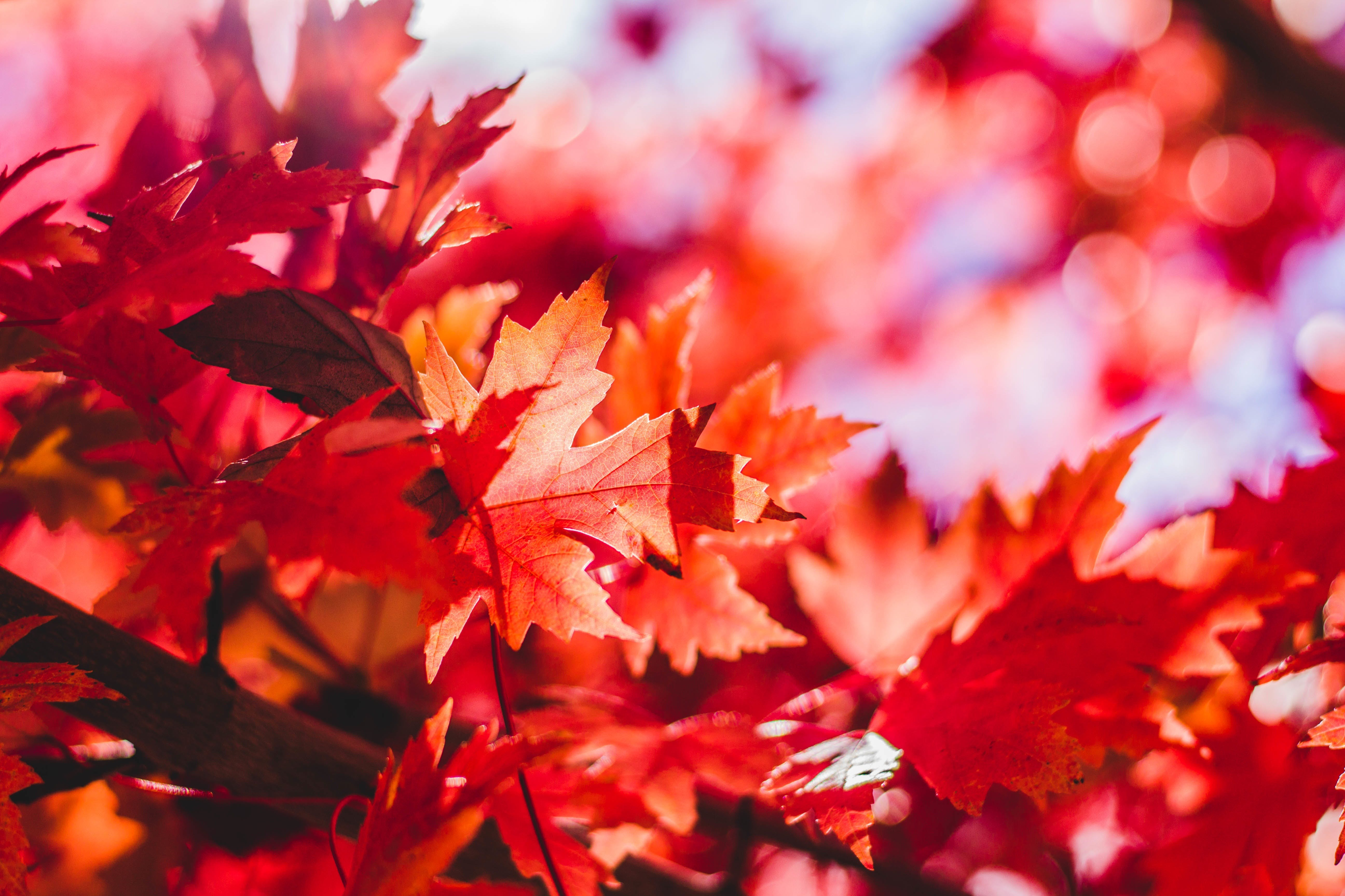Free stock photo of nature, red, leaf, leaves