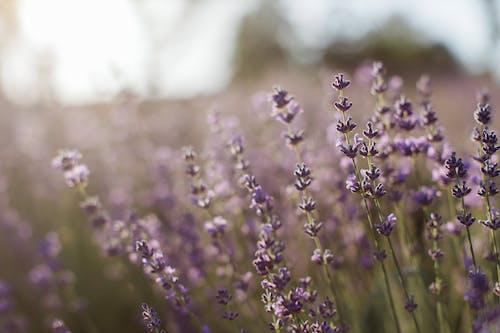 Purple Flower Buds in Tilt Shift Lens