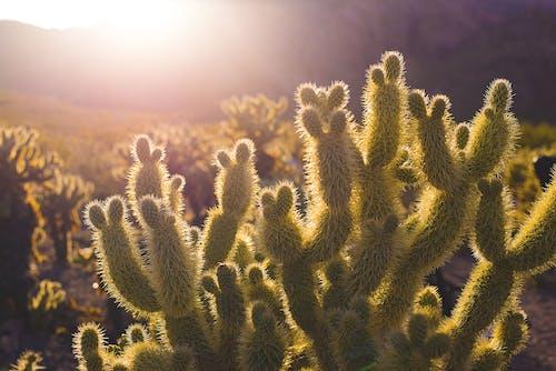 Ingyenes stockfotó fény, kaktusz növények, kaktuszféle, növényvilág témában