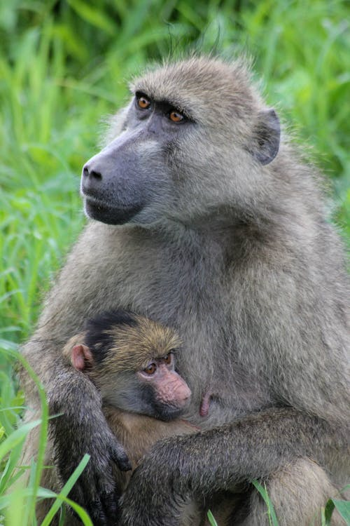 Baboon Holding Infant