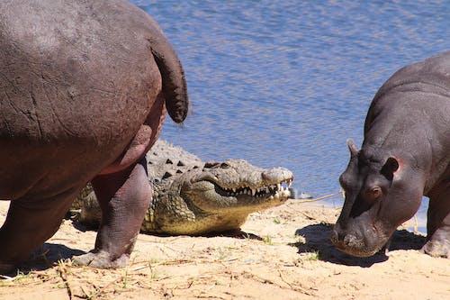 Hippos and Crocodile on Riverbank