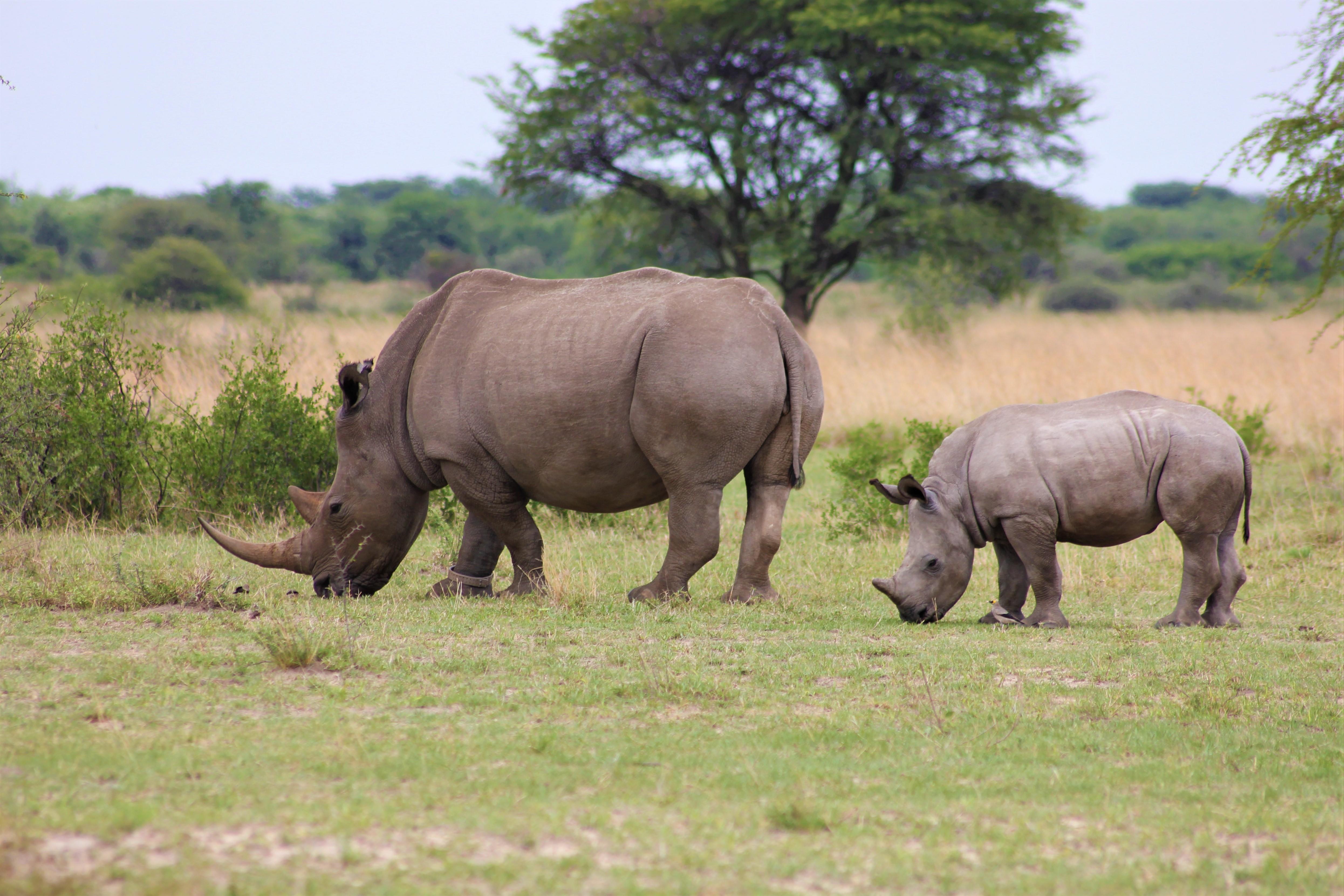 Two Rhinoceroses Grazing On Grass Field Free Stock Photo