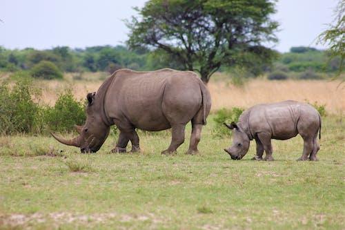 Two Rhinoceroses Grazing on Grass Field