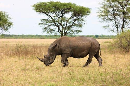 Rhinoceros on Grass Field