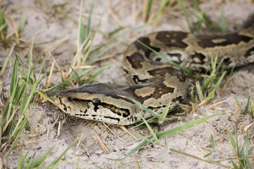 Brown and Black Snake on Ground