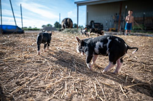 Adorable purebred piglets grazing in enclosure on sunny day