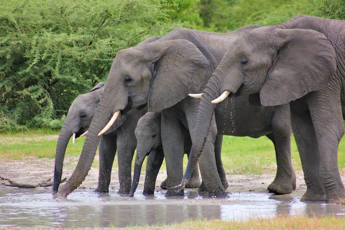Herd of Elephants Drinking