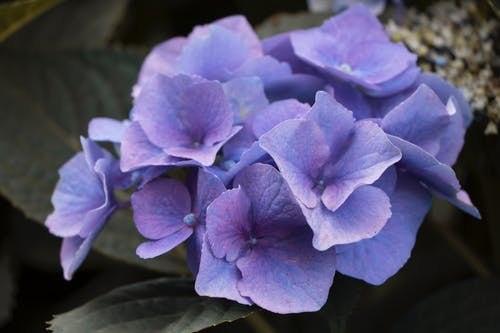 Free stock photo of flower, purple, purple flowers