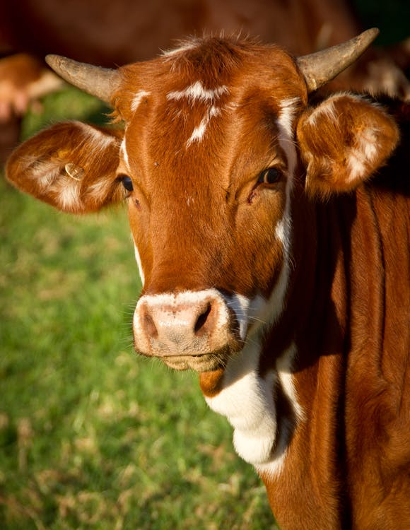 Close-up Photo of Brown Cattle on Green Grass
