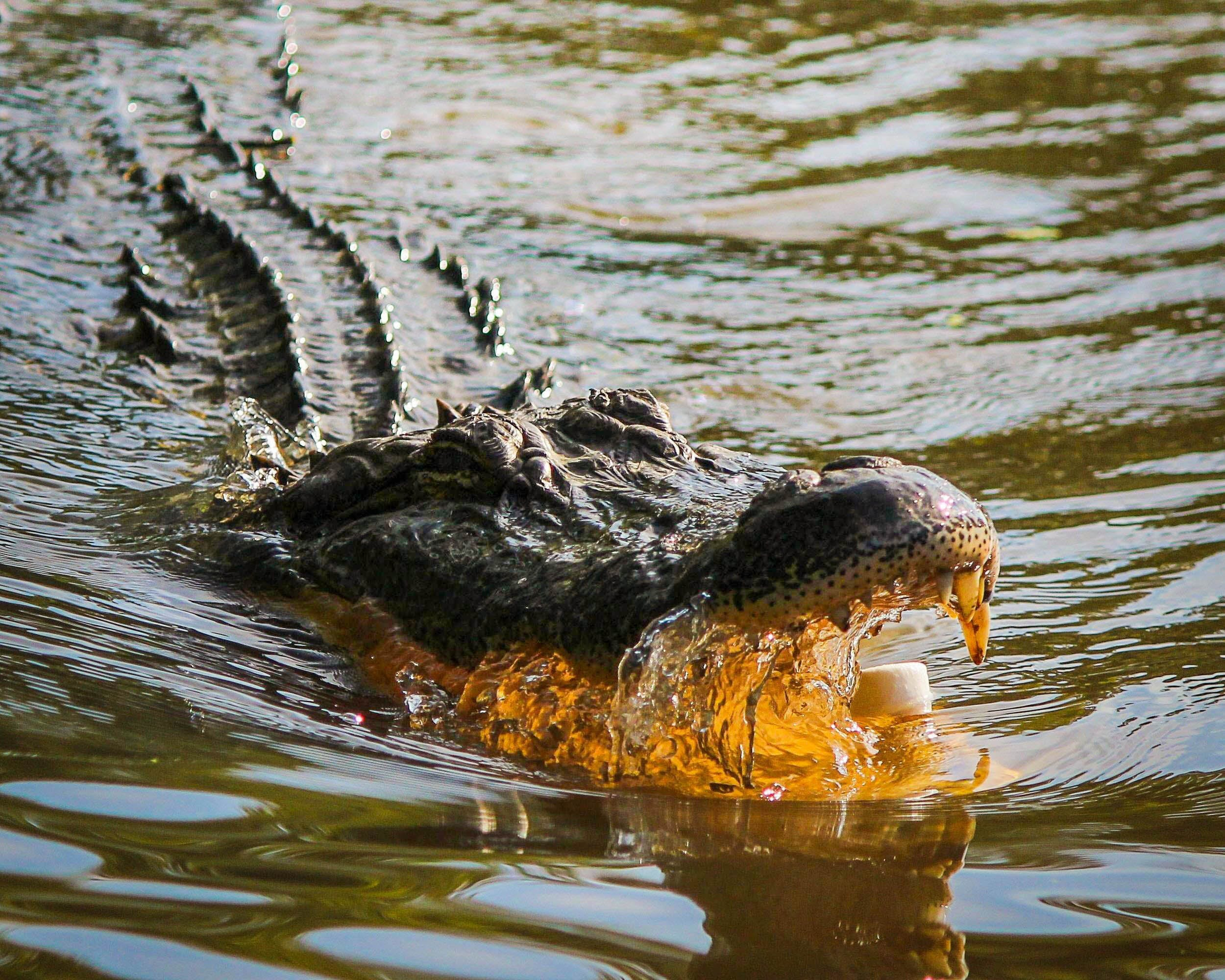 Crocodile on Water Opening Mouth