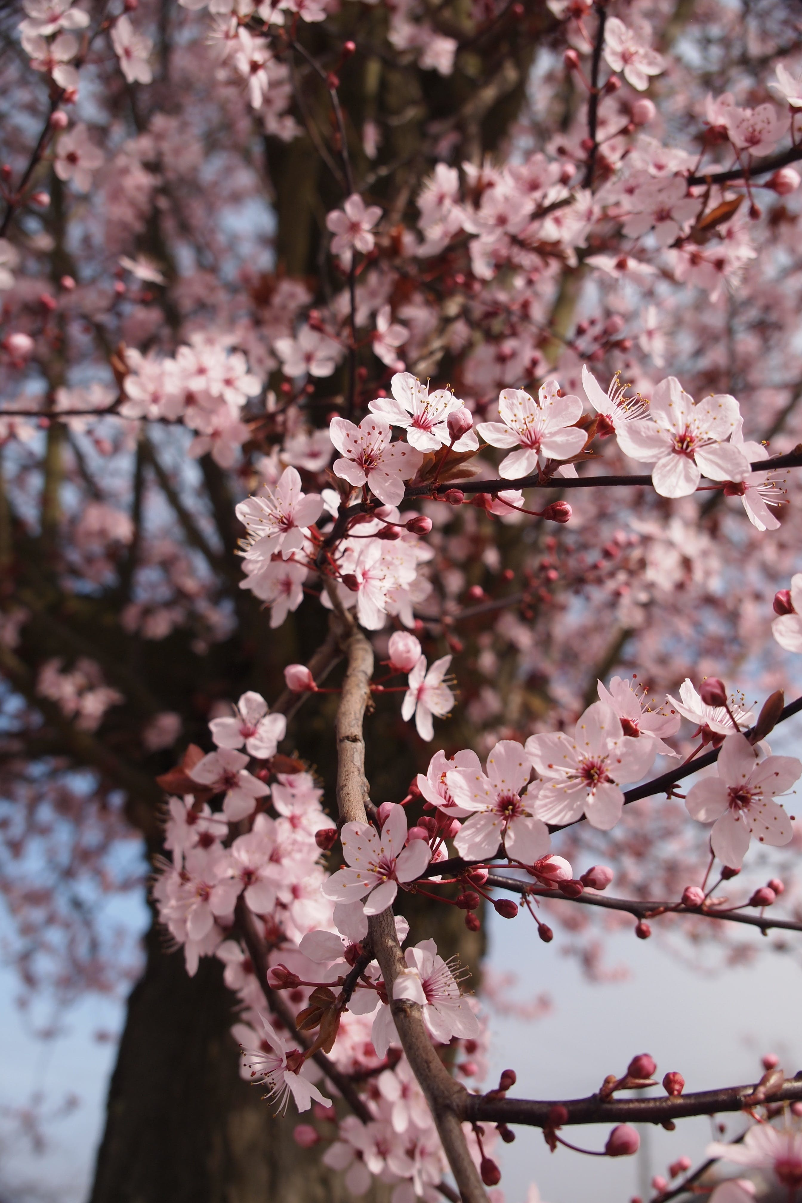 Foto d'estoc gratuïta de arbre, boom, flor de cirerer, flora