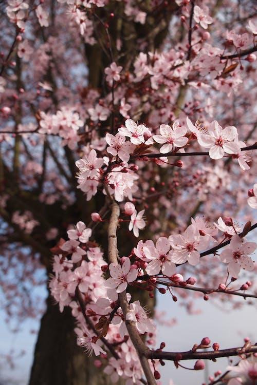 Ingyenes stockfotó bumm, cseresznyevirág, fa, növényvilág témában