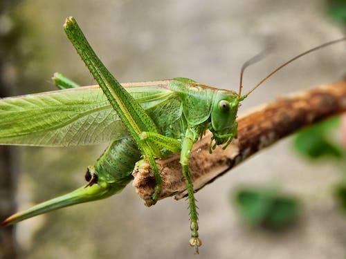 Gratis stockfoto met insect, macro, sprinkhaan