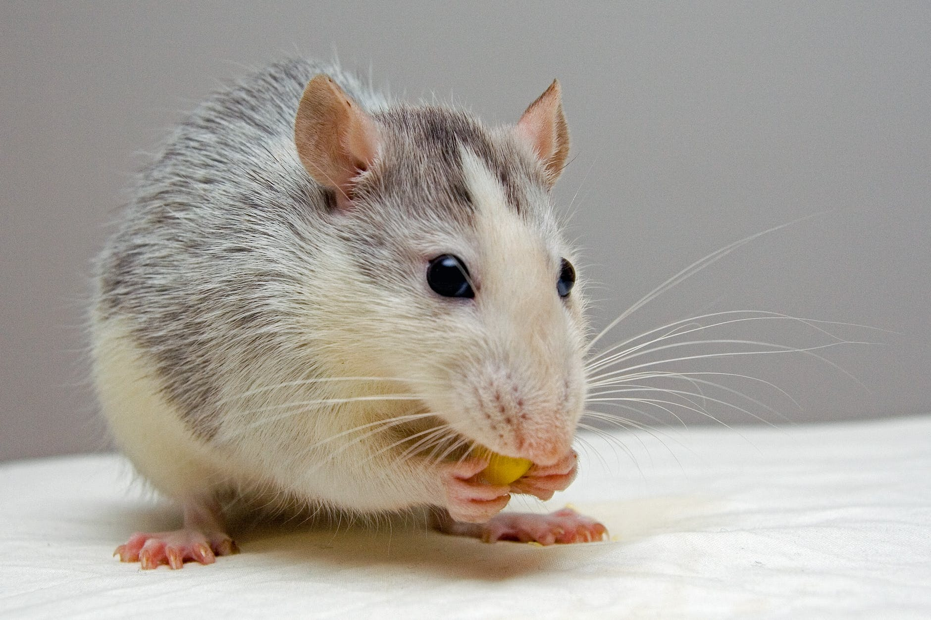 What do mice eat