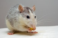 eating, rodent, mouse