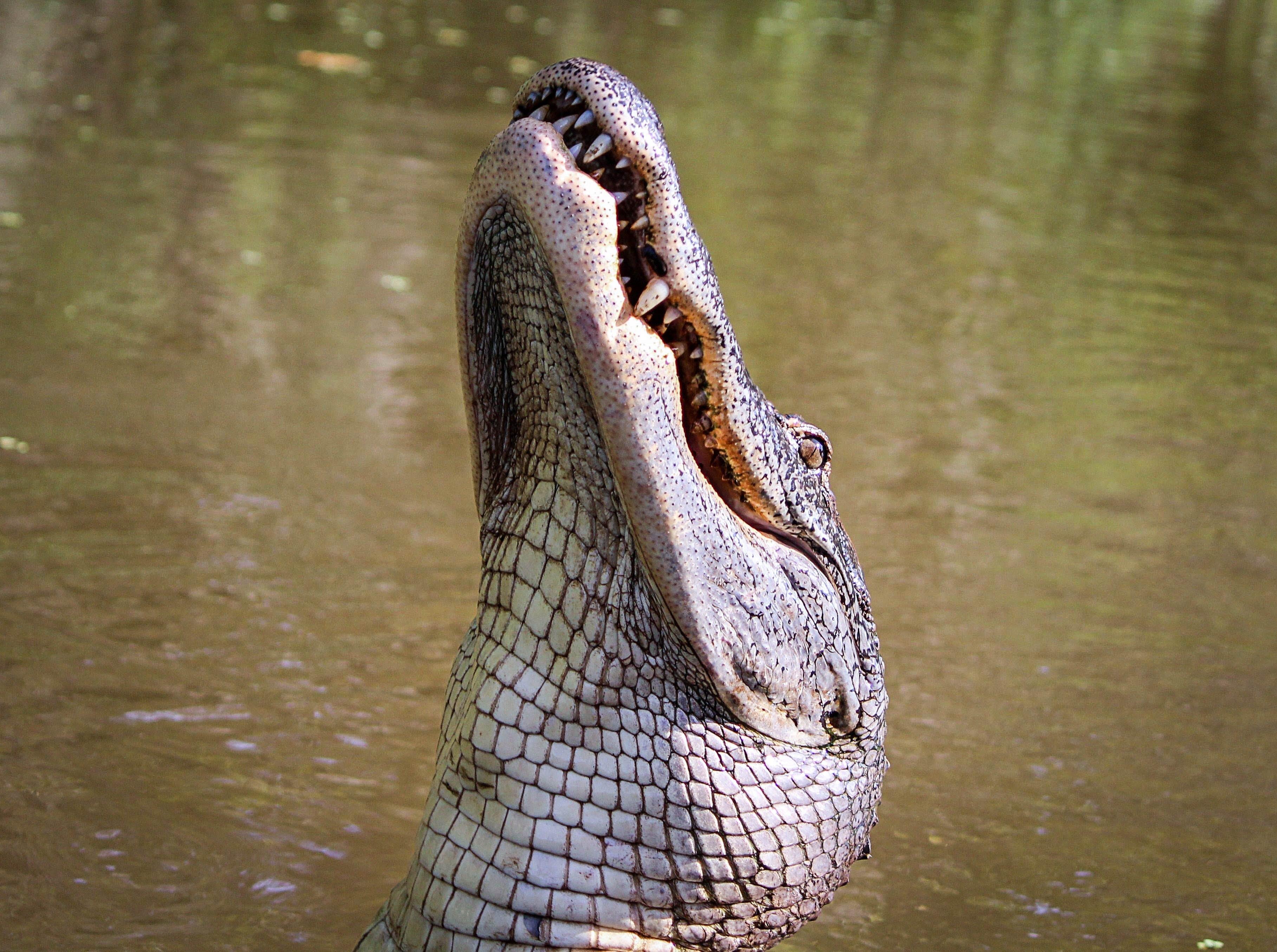 Alligator in Lake