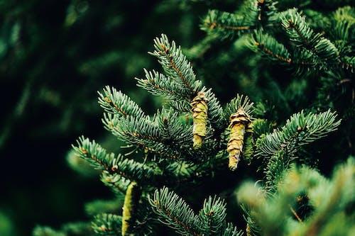 Pine Cone on Green Pine Tree