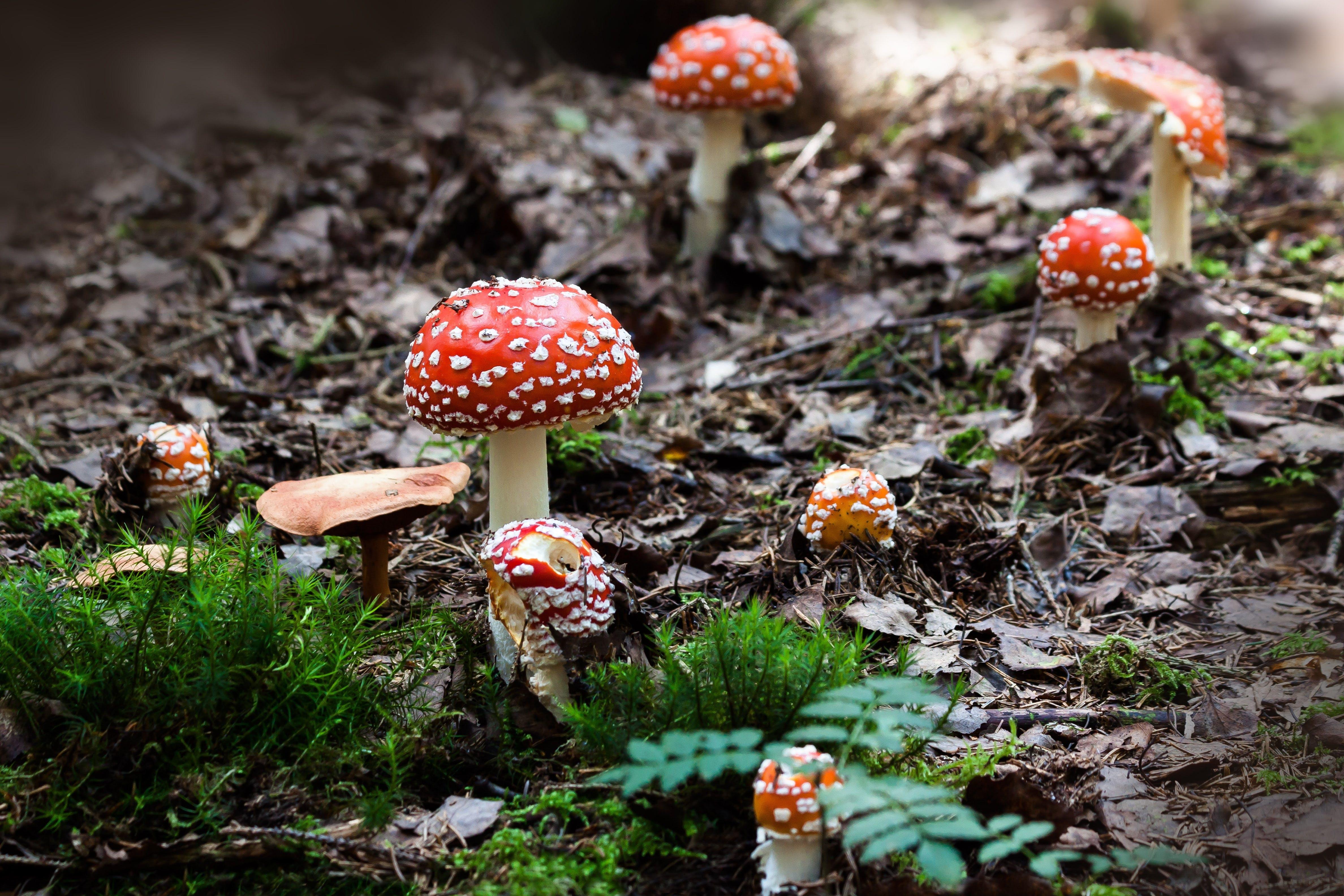 Red Mushroom Near Green Grass
