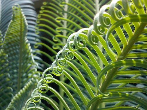 곱슬거리는, 녹색, 매크로, 식물의 무료 스톡 사진