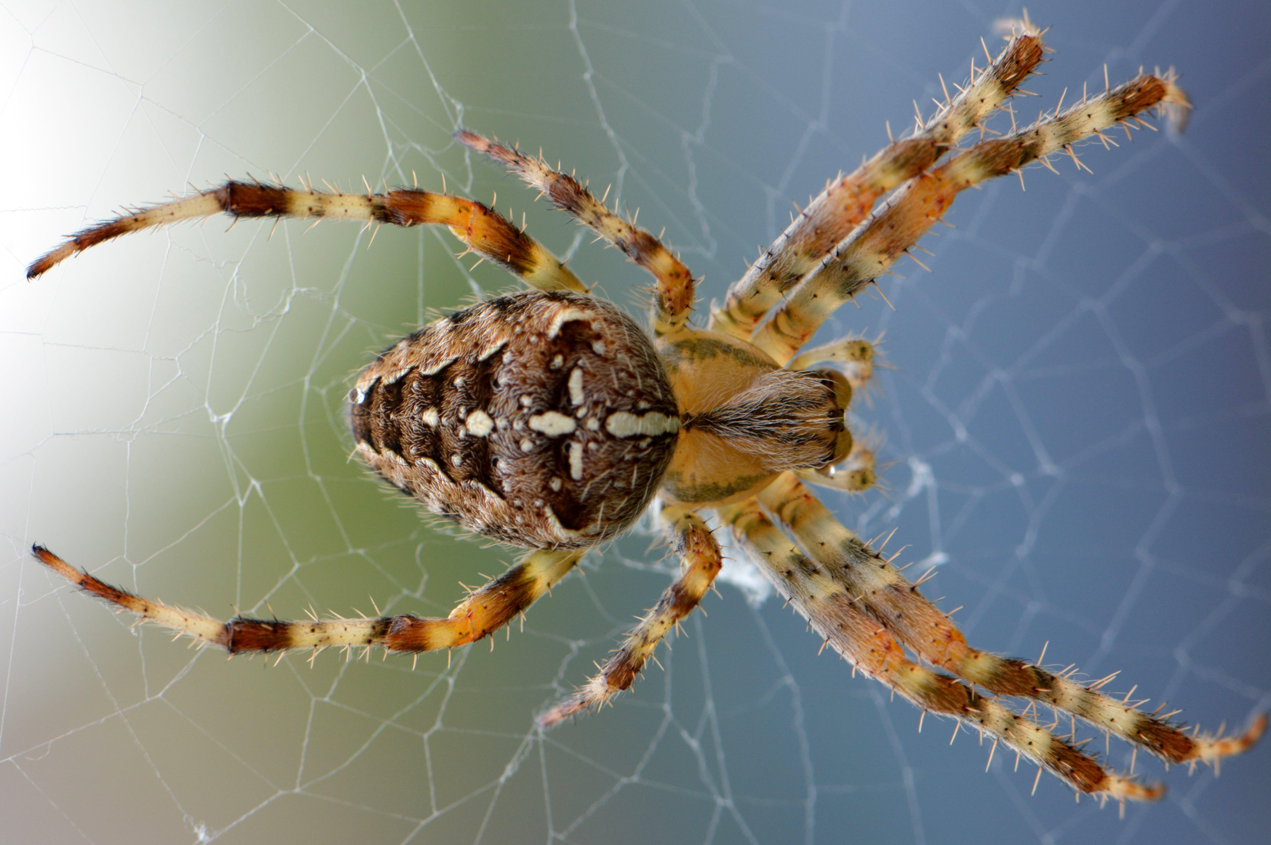 Brown Yellow Black Cross Orb Weaver Spider