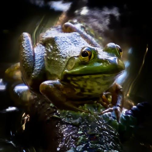 Free stock photo of amphibians, green frog, nature