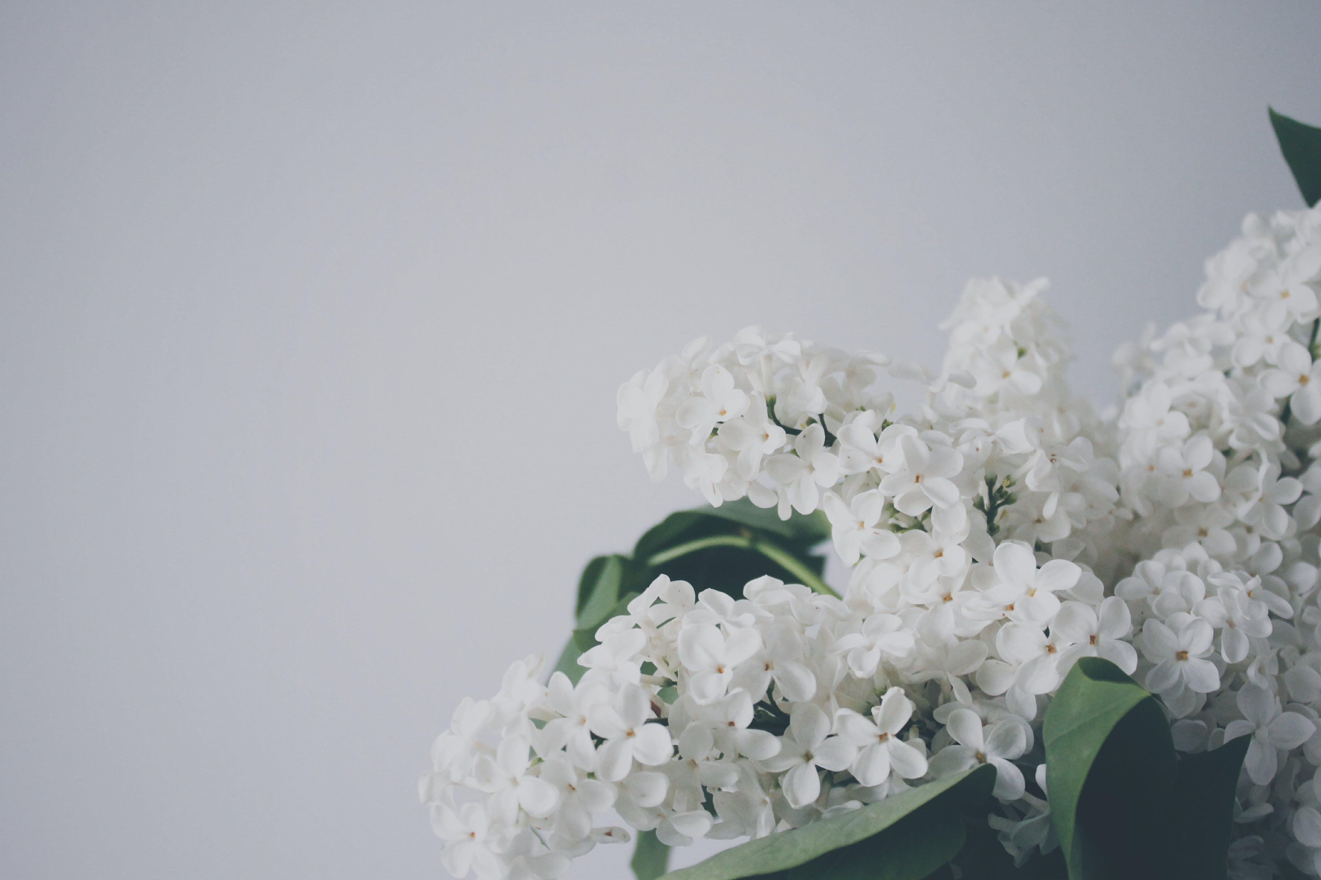Free stock photo of garden, plant, spring, white