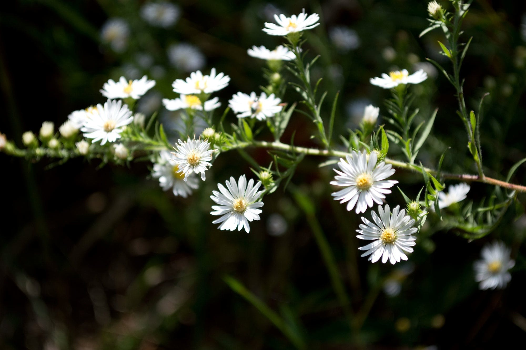 Shallow Photography of White Daisy during Daytime