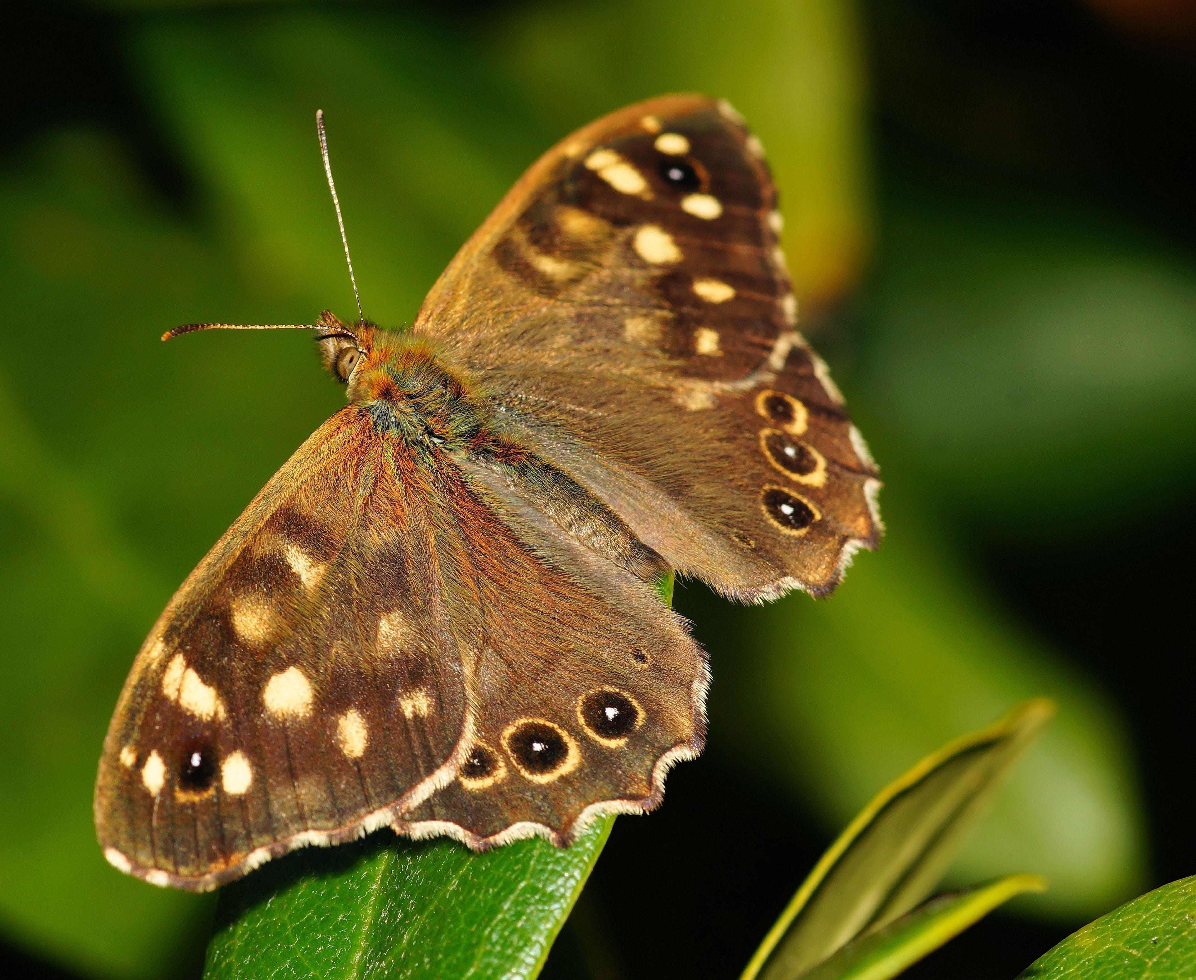 Foto d'estoc gratuïta de Fons de pantalla HD, insecte, macro, monarca