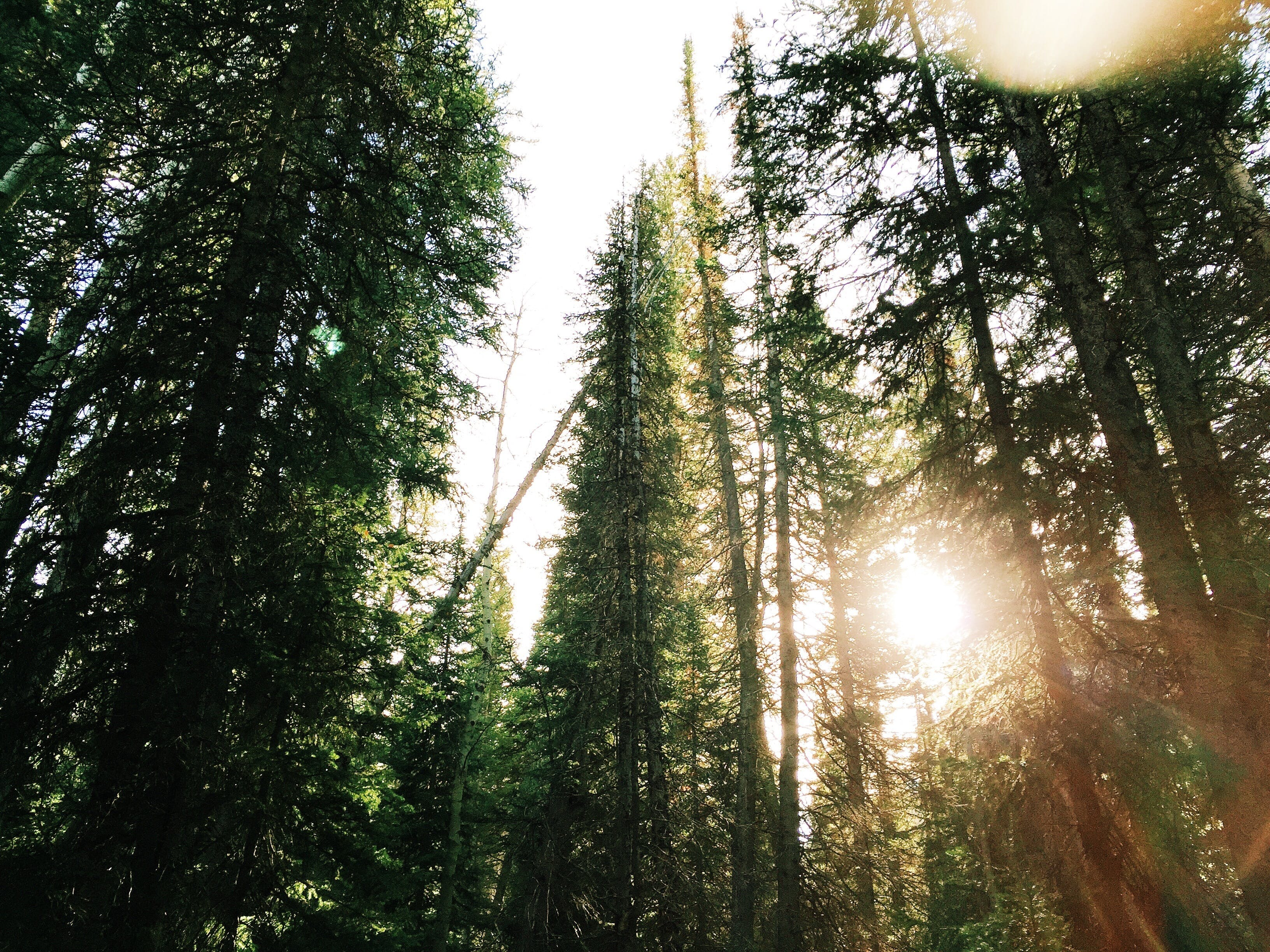 Free stock photo of nature, forest, conifers, fir trees