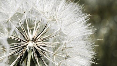 คลังภาพถ่ายฟรี ของ การถ่ายภาพมาโคร, ขาว, ความปรารถนา, ดอกแดนดิไลออน