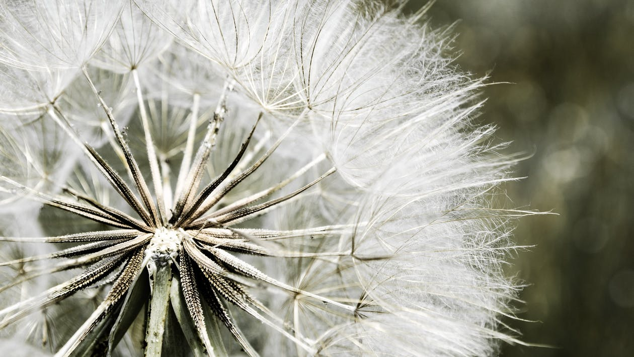 Dandelion Macro Photography