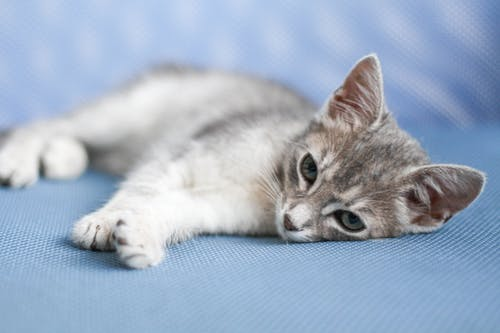 White and Gray Cat Lying on Blue Textile