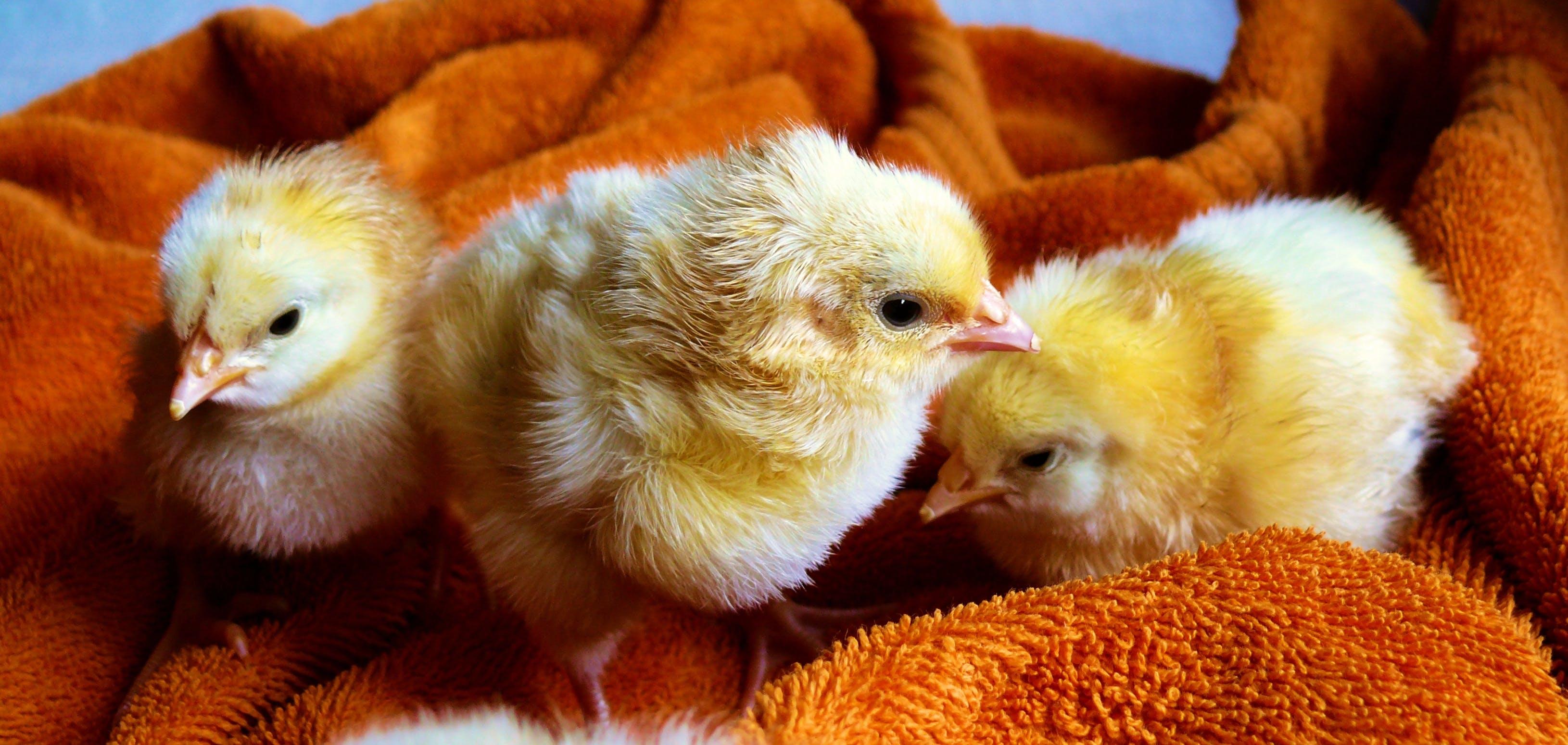 Three Yellow Chicks