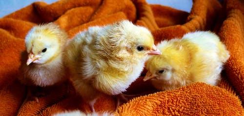 Gratis stockfoto met beesten, chicks, dieren, hd achtergrond