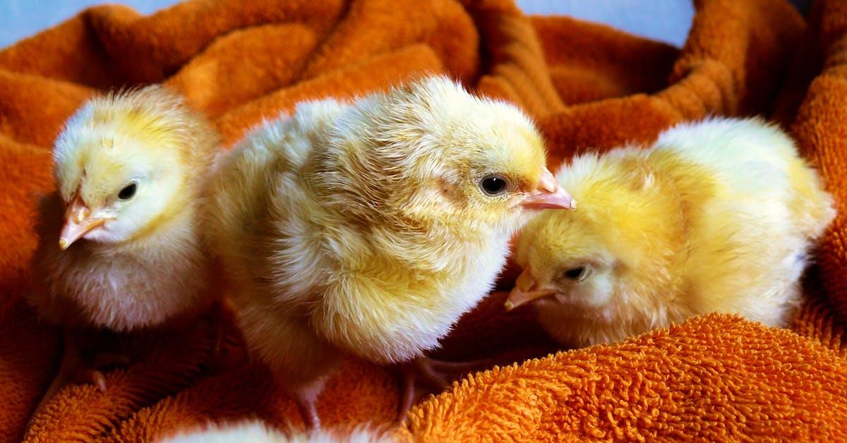 Free Stock Photo Of Animals Chicken Chicks