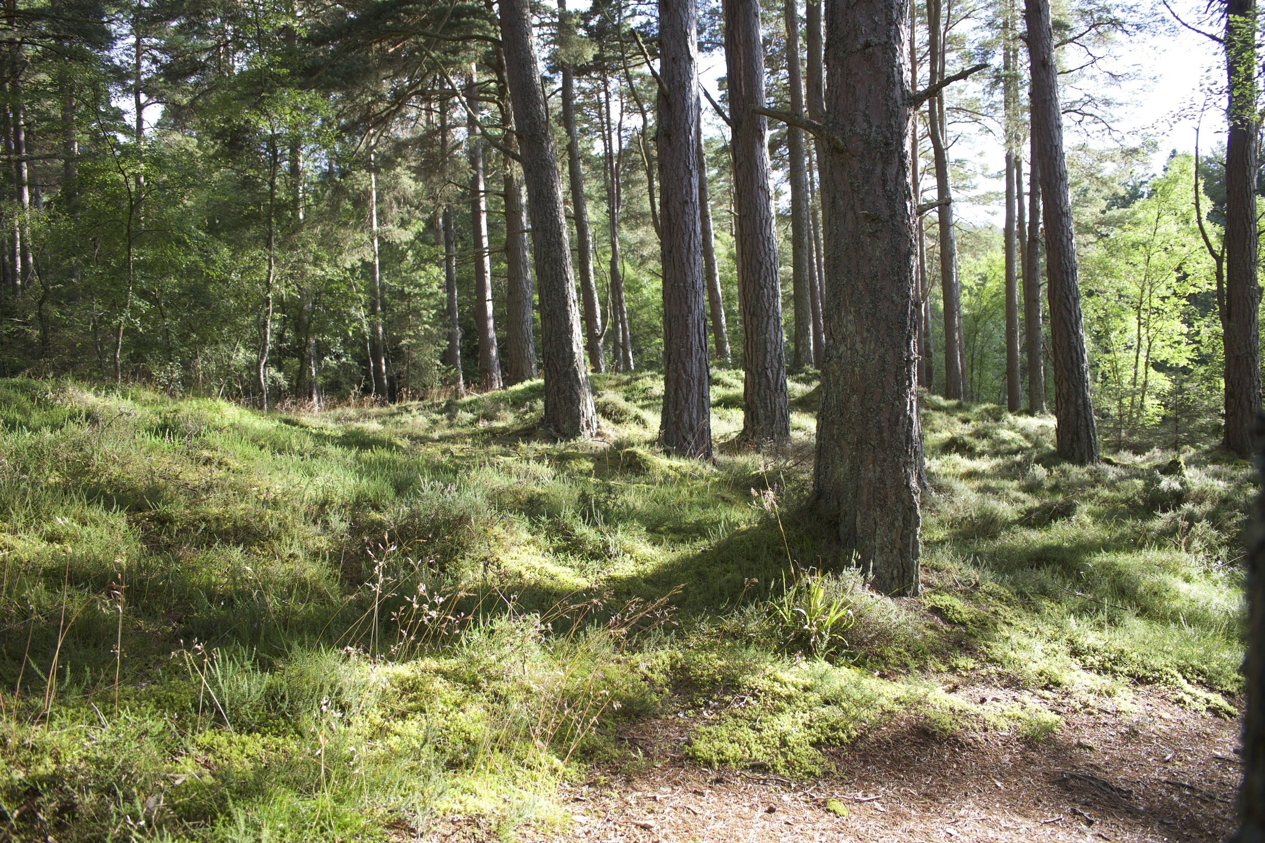 Free stock photo of forest, trees, grass, pines