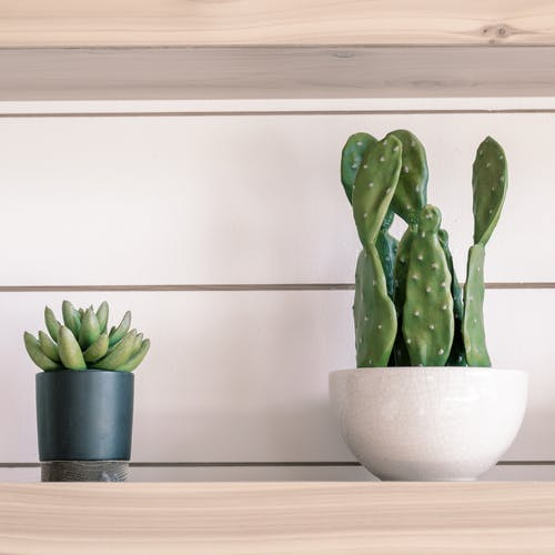 Exotic potted Opuntia ficus indica and Pachyphytum bracteosum on wooden shelf