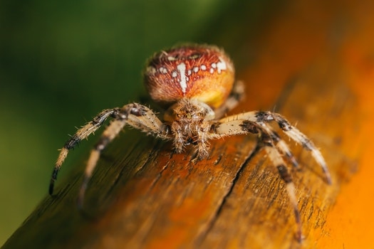 White Brown and Black Spider on Brown Wood