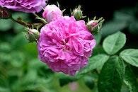 pink, rose, bloom