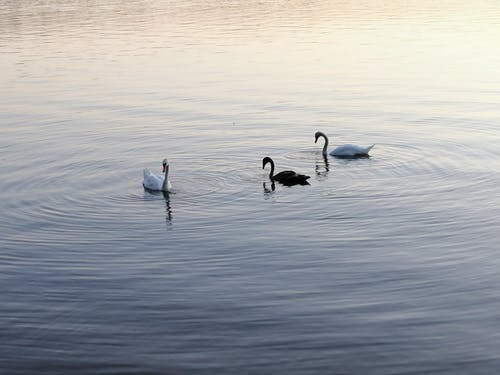 Three Swans on Water
