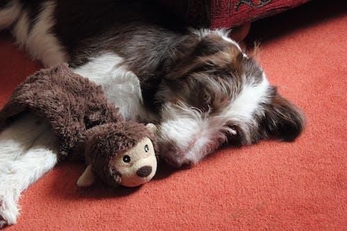Darmowe zdjęcie z galerii z pies, słodkie zwierzaki