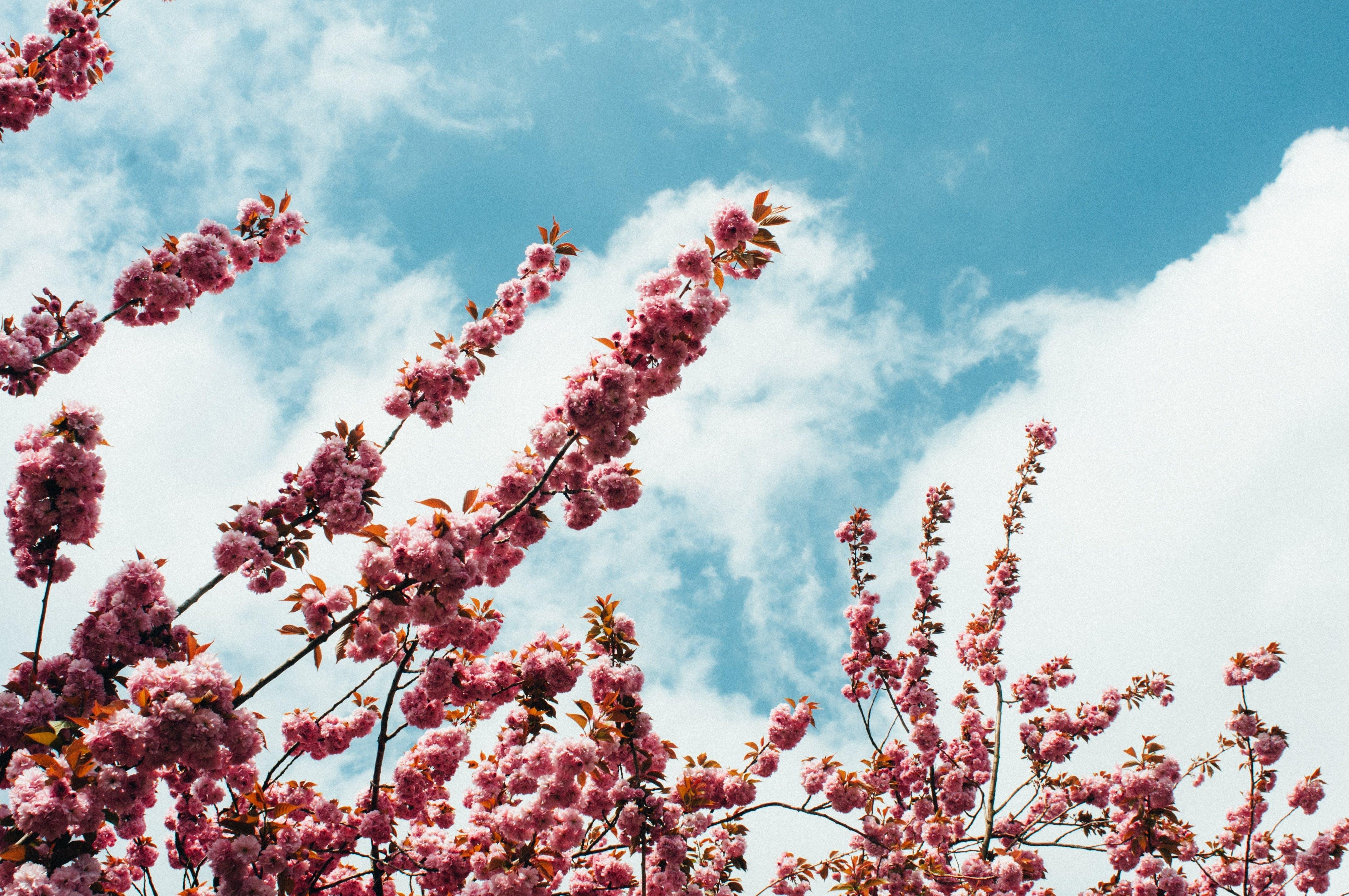 Free stock photo of beautiful, bloom, blossom, blue sky