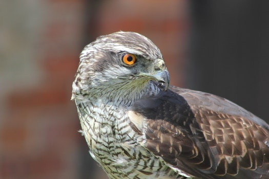 Free stock photo of bird, animal, eagle, hawk